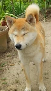いつも眠た~~い我が家の柴犬!?